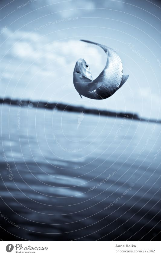 Hakenschlag in blau Fisch 1 Tier fangen gefangen silber Horizont Angeln Schuppen Flosse Köder Köderfisch Angelköder Angelschnur Angelrute Natur Erholung winden