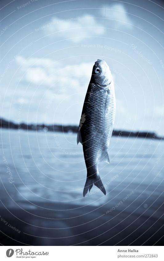 Rotfeder in blau Fisch Erholung fangen Angeln fischhaut Himmel (Jenseits) Flosse Schuppen Kieme Fischereiwirtschaft entwenden ködern Köder befreien Seeufer