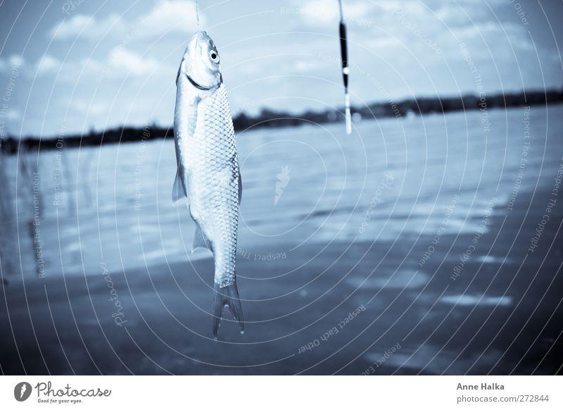 Ein Ende in blau Sushi fangen Fressen Jagd leuchten frisch schleimig silber schuppig Schwimmer (Angeln) töten Gebiss Flosse rotfeder Rotauge Haken ködern Köder