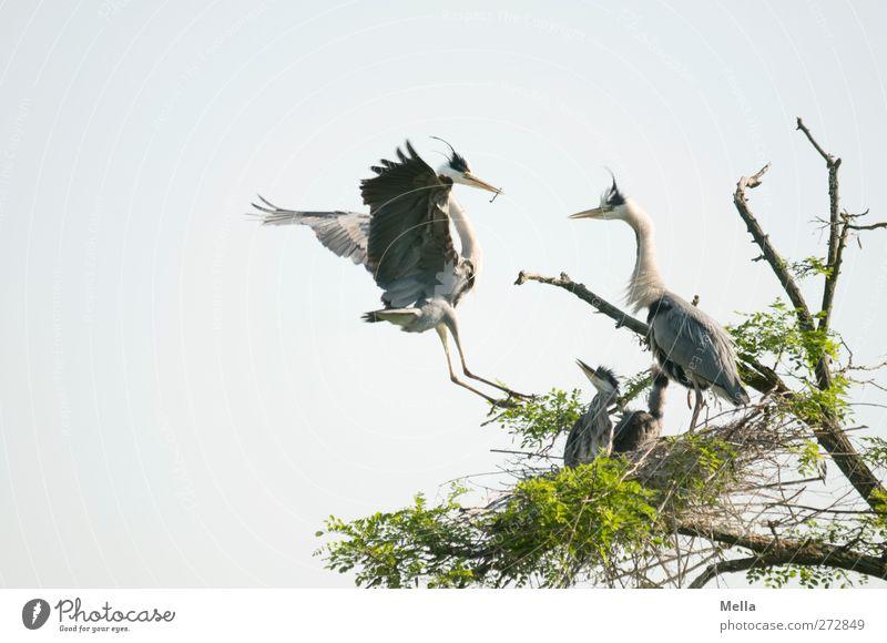 Familie Umwelt Natur Tier Pflanze Baum Ast Wildtier Vogel Reiher 4 Tierfamilie fliegen außergewöhnlich frei Zusammensein natürlich Schutz Geborgenheit