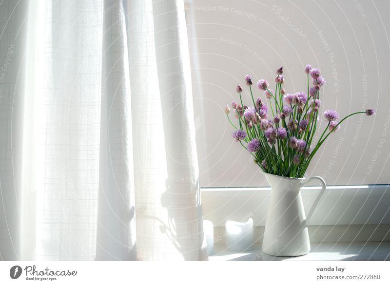 Fenster Innenarchitektur Dekoration & Verzierung Schnittlauch schnittlauchblüte hell Vase Fensterbrett violett Blüte Vorhang Farbfoto Innenaufnahme