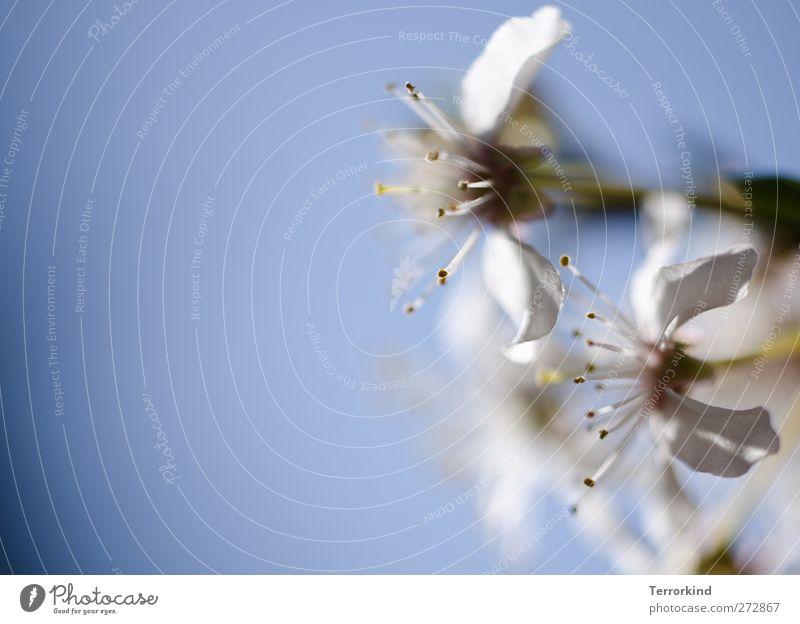Hiddensee   I.could.be.decent.. Blüte Blatt Sommer Frühling weiß zart Vorsicht sanft rosa Textfreiraum links Wachstum Linie gerade lebendig.