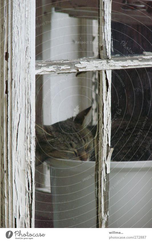 gitti im topf Katze Tier dunkel Fenster schlafen Häusliches Leben verfallen Verfall Müdigkeit Langeweile Blumentopf Fensterrahmen Fensterkreuz Fensterplatz