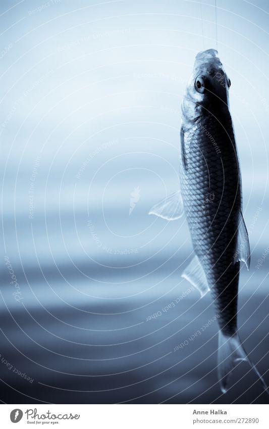 Rechtshänger in blau Fisch atmen fangen Fressen füttern Jagd schaukeln frisch Gesundheit silber türkis Angeln Schuppen Luft Urelemente fliegen Sehne Sehnsucht