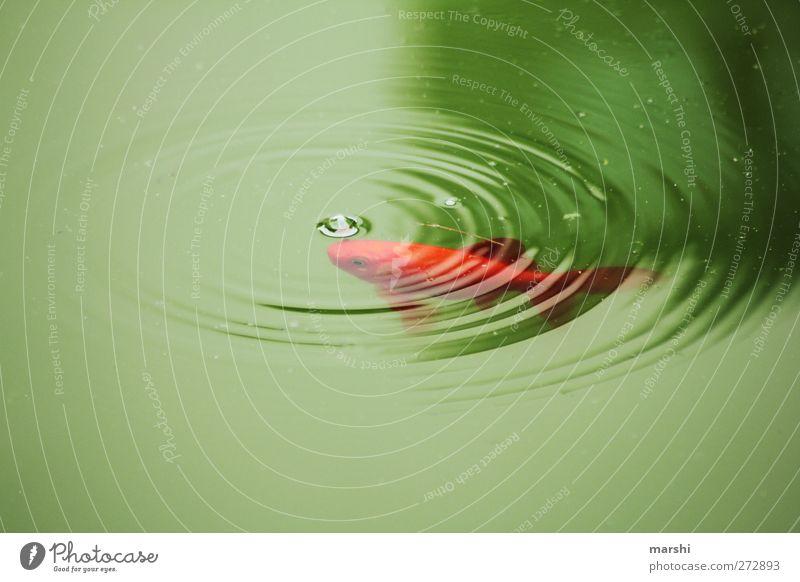 BLUB Tier Fisch Zoo 1 grün orange rot Wassertropfen See Goldfisch Blubbern Blase Nutztier Farbfoto Außenaufnahme