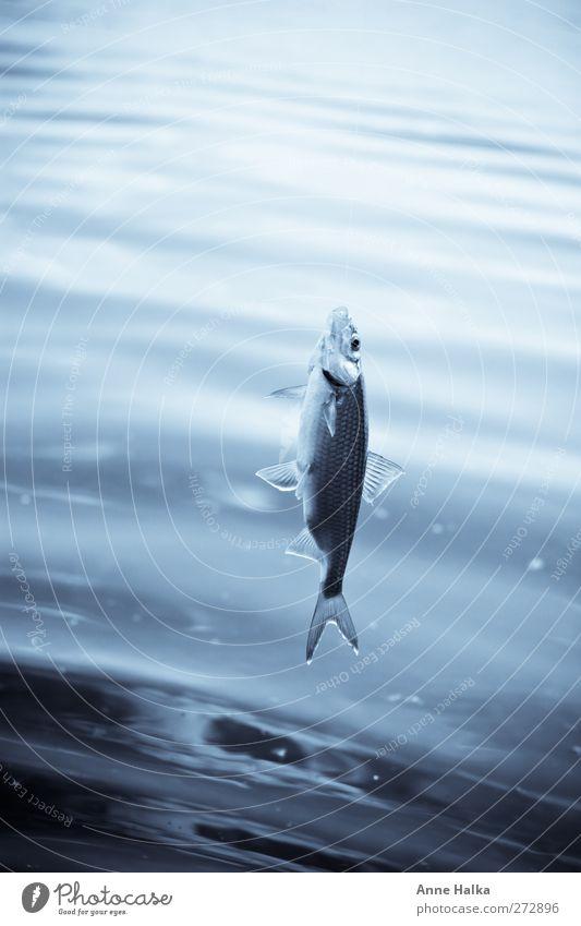 Ein Hauch von Transparenz in blau Natur Wasser Tier Gefühle See Gesundheit fliegen Geschwindigkeit frisch Wassertropfen Fisch Coolness bedrohlich Kommunizieren