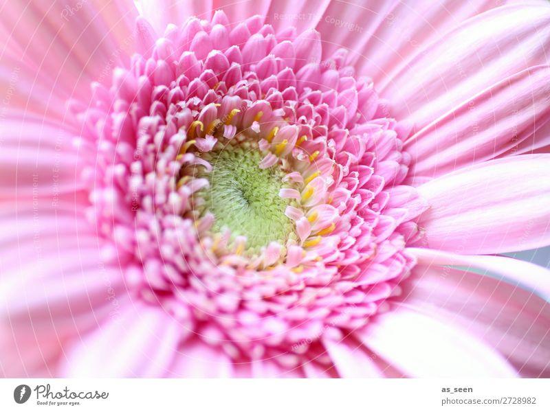 Pink Gerbera Natur Sommer Pflanze Farbe grün Blume Leben gelb Umwelt Blüte Frühling rosa Design frisch Geburtstag ästhetisch