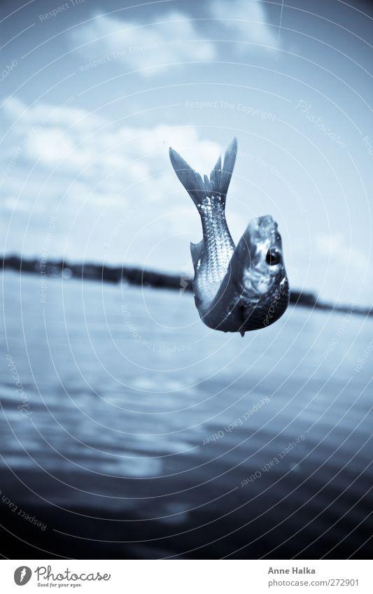 Winde in blau Fisch springen Wasser Momentaufnahme Monochrom See 1 einzeln Tiergesicht Fischauge Fischkopf Schwanzflosse Farbfoto Gedeckte Farben Außenaufnahme