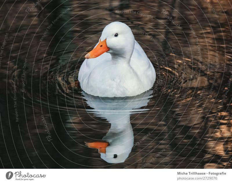 Weiße Ente mit Spiegelbild Natur Wasser weiß Tier Auge natürlich See orange Vogel Schwimmen & Baden braun leuchten gold Wildtier Feder Schönes Wetter