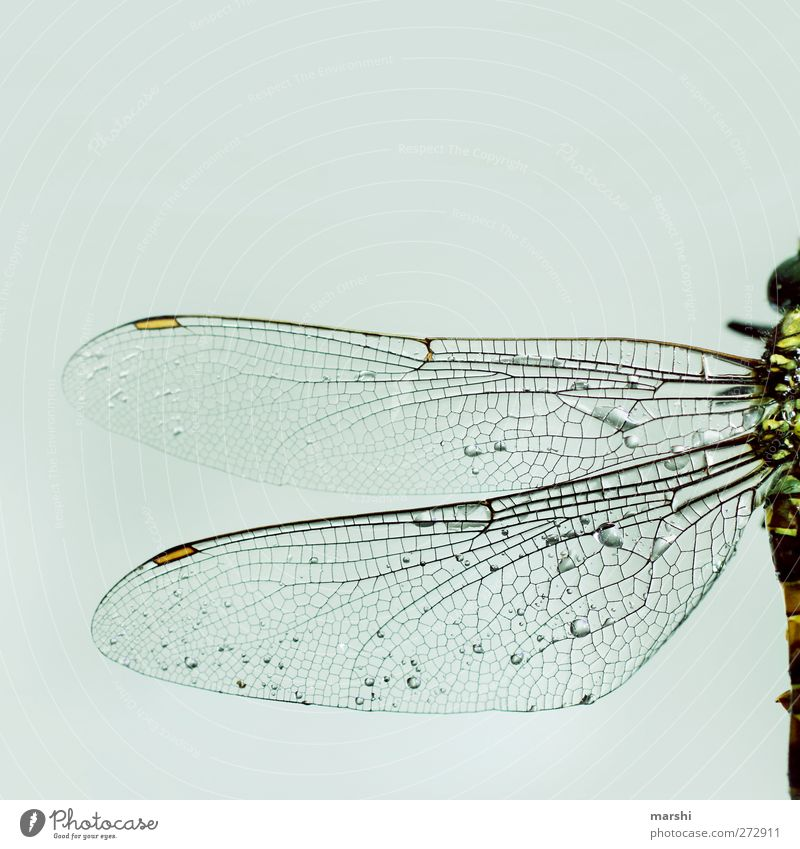 zerbrechlich Tier hell Flügel Insekt Hälfte Libelle Totes Tier Libellenflügel