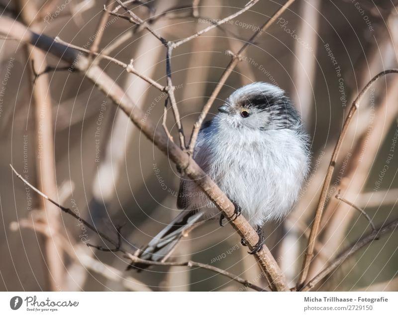 Schwanzmeise auf einem Zweig Natur weiß Sonne Tier schwarz gelb Auge orange Vogel leuchten Wildtier sitzen Feder Sträucher Schönes Wetter Flügel