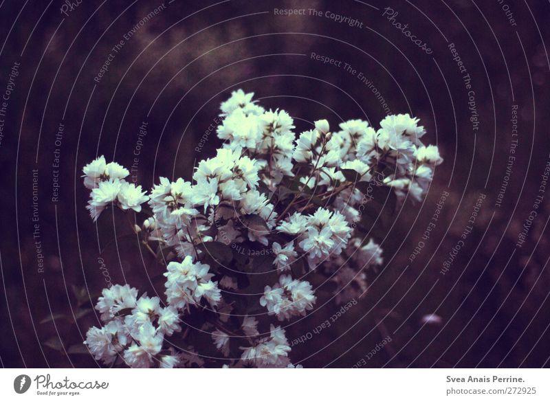 märchenhaft. Pflanze Blume Sträucher Rose violett Blühend Märchen Geäst Zweige u. Äste Strauß Märchenwald