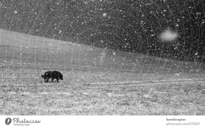 Schneegestöber Hund Natur Tier Einsamkeit Umwelt Landschaft kalt Gras Schneefall Eis Wetter Klima Frost analog Haustier
