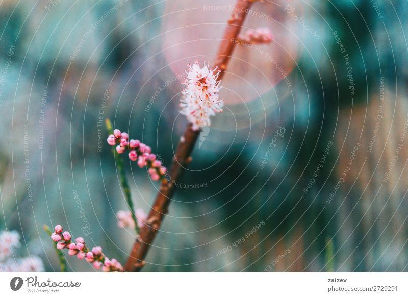 Nahaufnahme einiger kleiner rosa Blüten und Knospen von Tamarix chinensis Tamariske Fünf-Sterne-Tamariske Chinesische Tamariske Salzzeder Blumen geblümt