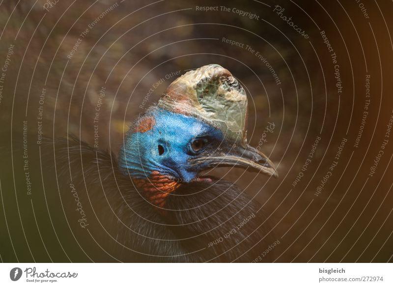 Rothalskasuar blau schön rot Tier Vogel gold sitzen Tiergesicht Zoo