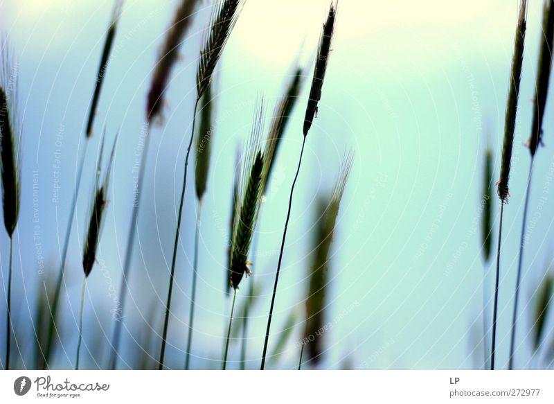 grün Pflanze grau Feld Beginn einfach violett lang türkis Nutzpflanze