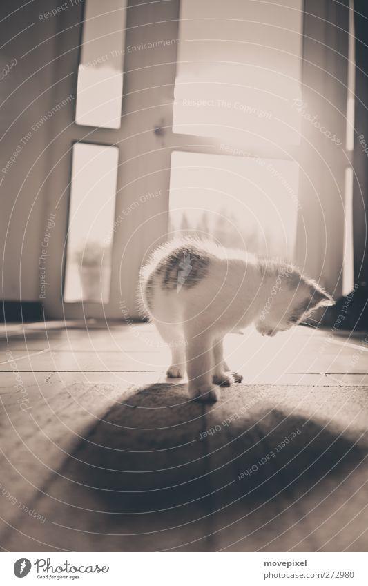 Schattenspiel Tier Haustier Katze 1 Tierjunges beobachten Blick stehen kuschlig Stimmung Neugier Interesse Gedeckte Farben Innenaufnahme Textfreiraum oben