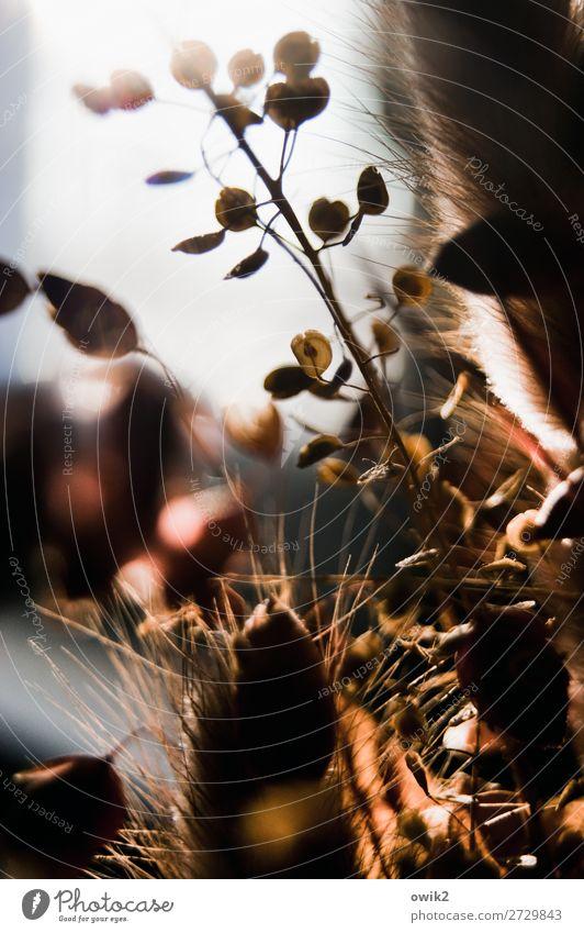 Knochentrocken Pflanze Sträucher Trockenblume Trochenpflanze Dekoration & Verzierung dehydrieren alt klein nah natürlich Vergangenheit Vergänglichkeit Farbfoto