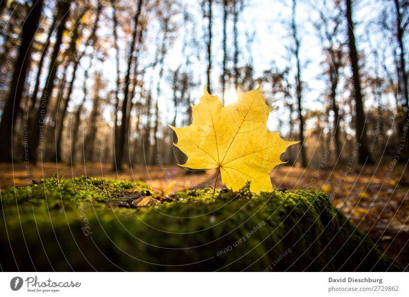 Herbstlicht Natur Wolkenloser Himmel Schönes Wetter Pflanze Baum Wald braun gelb grün orange Energie Erholung Querformat Blatt Waldboden Färbung Herbstlaub