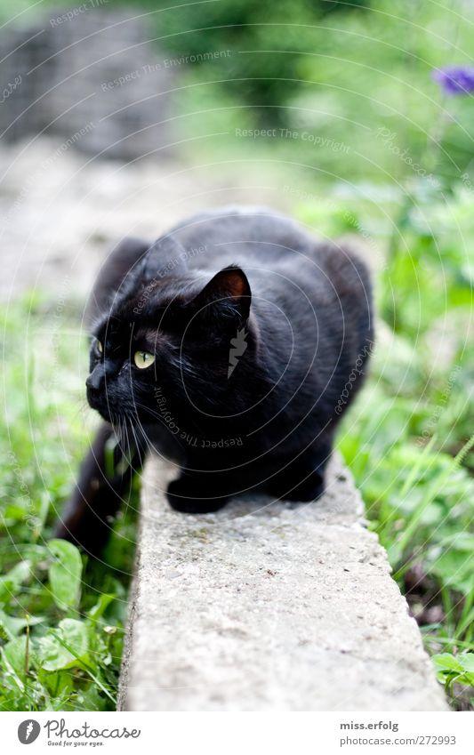 Auf der Mauer auf der Lauer... Katze Natur Pflanze Tier schwarz Umwelt Leben Holz Erde Kraft authentisch gefährlich beobachten weich Fell