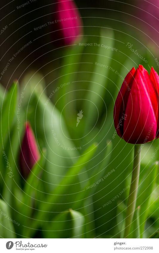 Tulpen aus Nachbars Garten Umwelt Natur Pflanze Frühling Blume Nutzpflanze grün rot Brennpunkt Stengel Blütenblatt knallig Dekoration & Verzierung schön