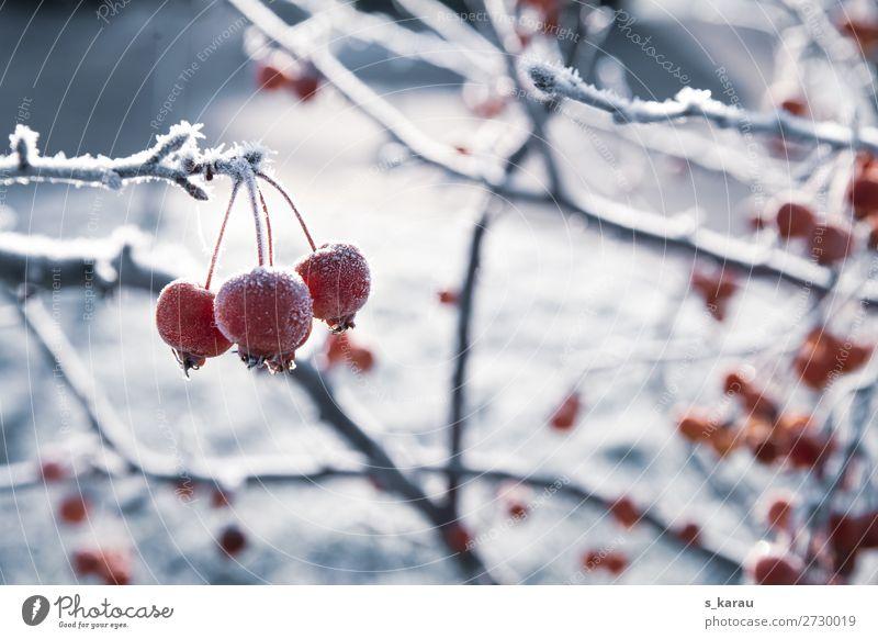 Wintermorgen Umwelt Natur Pflanze Eis Frost Schnee Sträucher Rose Garten Park Feld kalt rot weiß ruhig Wetter Januar Februar gefroren Hagebutten Zweige u. Äste