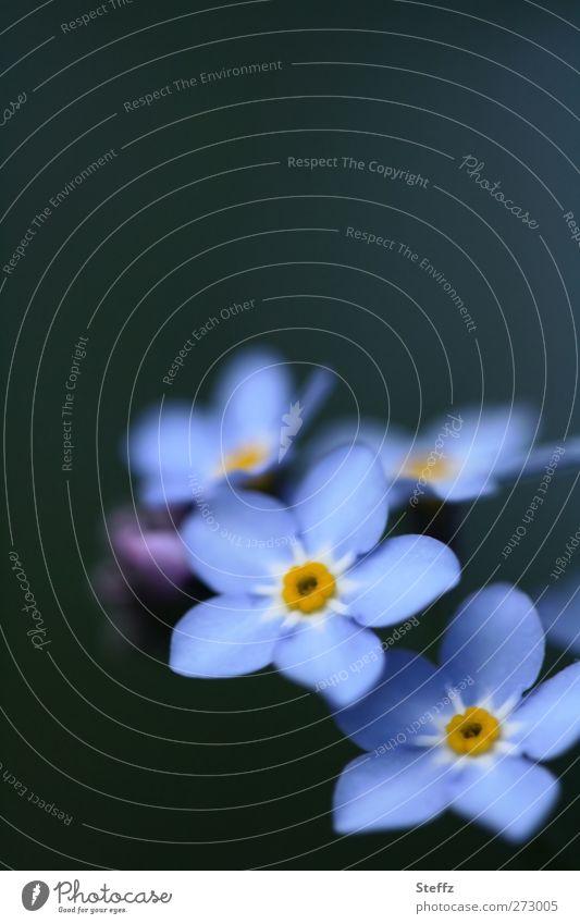 bevor Erinnerungen verblassen Vergißmeinnicht blühende Frühlingsblume blaue Blumen Blüte dezent anmutig hellblau blühende Blume Wildpflanze romantisch Blühend