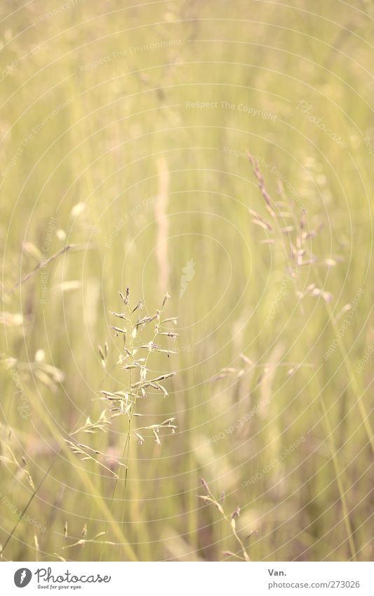 Ein Hauch von Sommer Natur Pflanze Frühling Gras Gräserblüte Wiese Wachstum Wärme gelb zart Farbfoto Gedeckte Farben Außenaufnahme Nahaufnahme Menschenleer Tag
