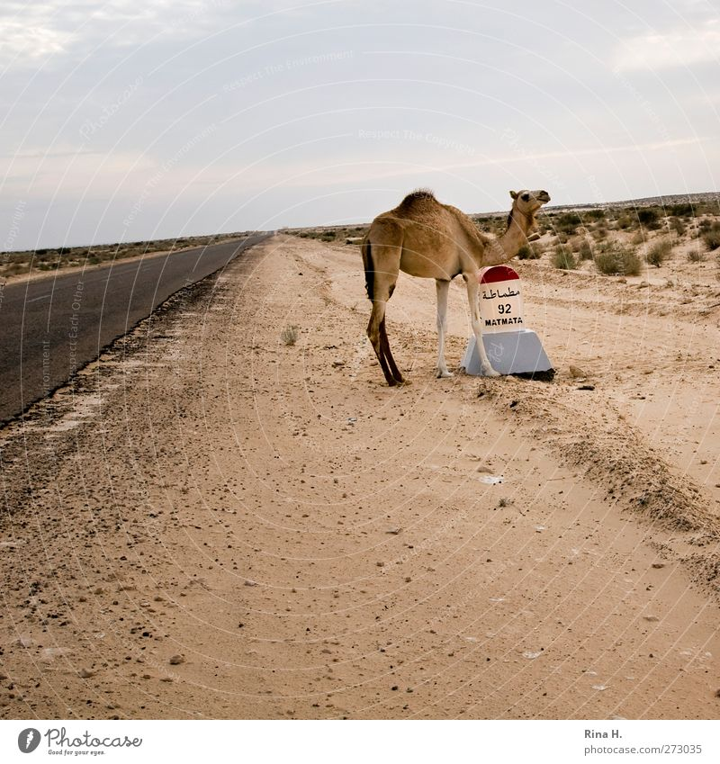 Camelus Dromedarius IIi Natur Landschaft Himmel Wüste Tunesien Verkehrsmittel Straße Nutztier Kamel 1 Tier Tierjunges Schilder & Markierungen stehen warten