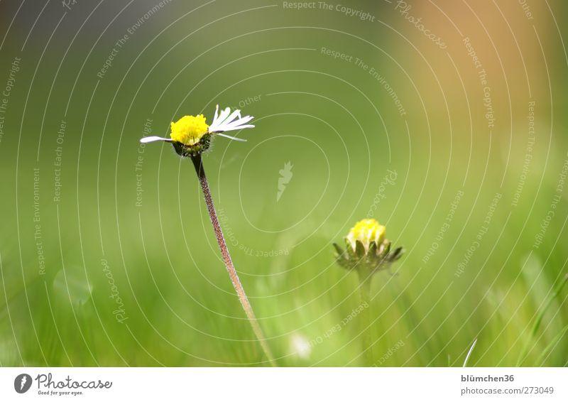 Er liebt mich! Er liebt mich nicht... Natur weiß grün schön Pflanze Sommer Blume Freude gelb Spielen Frühling klein Blüte natürlich Wachstum Fröhlichkeit