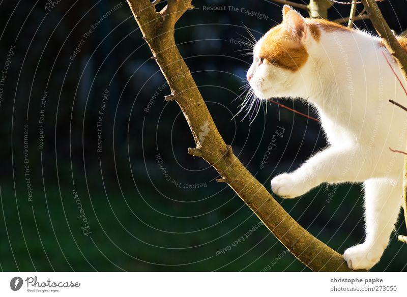 Auf dem aufsteigenenden Ast Katze Baum Pflanze Tier Umwelt Freiheit Jagd sportlich Mut Haustier Pfote Frühlingsgefühle schleichen