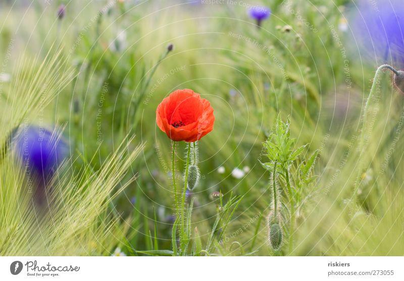 Mohn + Kornblumen = <3 Natur Frühling Sommer Pflanze Blume Feld Idylle Farbfoto mehrfarbig Außenaufnahme Tag Unschärfe