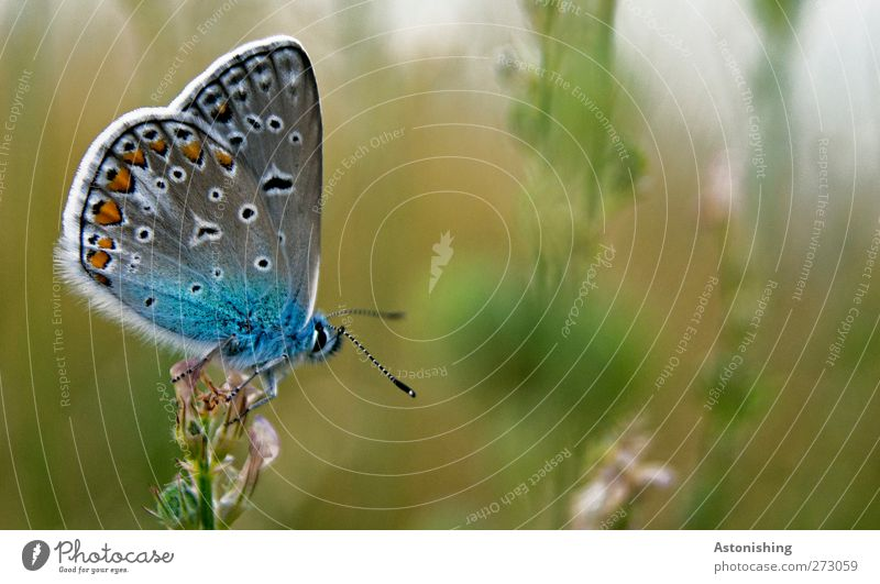 """""""SEHT MICH AN!!"""" Umwelt Natur Pflanze Tier Sommer Blume Gras Wiese Schmetterling 1 beobachten sitzen stehen schön blau mehrfarbig grün weiß Makroaufnahme Fühler"""