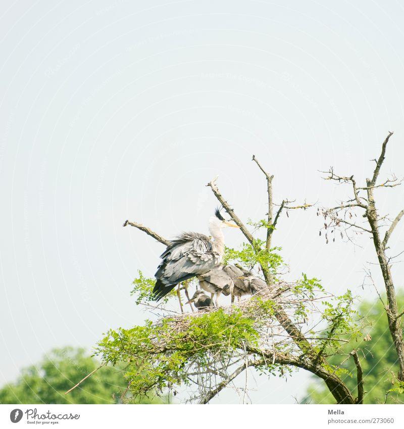 Beschützen Umwelt Natur Pflanze Tier Baum Baumkrone Ast Wildtier Vogel Reiher Graureiher Nest Tiergruppe Tierfamilie stehen warten Zusammensein natürlich