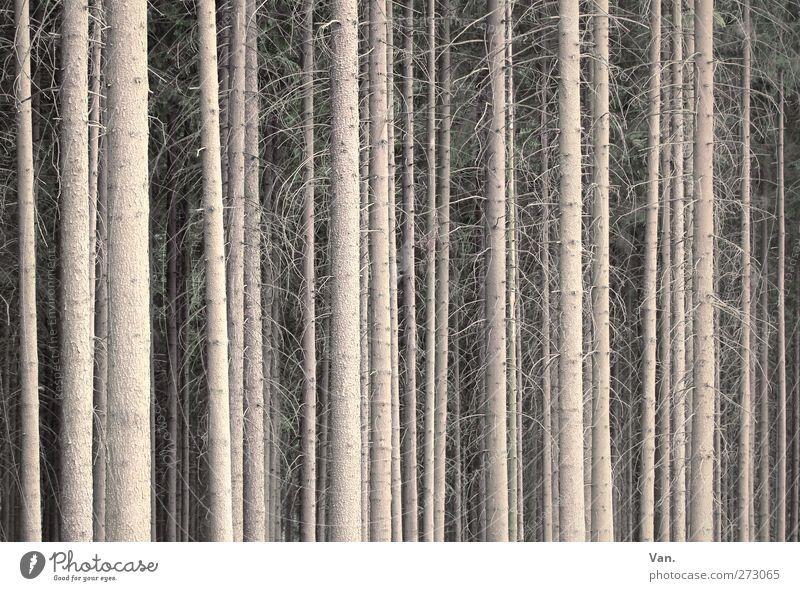 Ich glaub' ich steh' im Wald Natur Pflanze Baum Fichtenwald Zweig Ast Baumstamm Wachstum groß braun gerade parallel dicht ruhig Farbfoto Gedeckte Farben