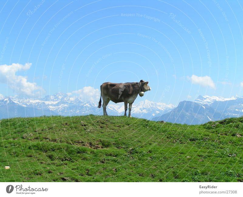 Muuuh Kuh Wiese Panorama (Aussicht) Glocke Weide Alpen Berge u. Gebirge groß