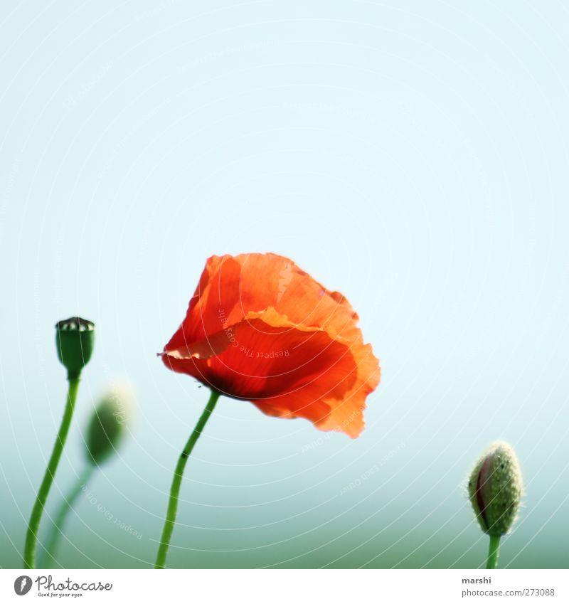 Opium fürs Volk Natur Landschaft Pflanze Sommer Blume grün rot Wiese Wiesenblume Mohn Mohnblüte Mohnfeld Mohnkapsel Blühend Blühende Landschaften Himmel