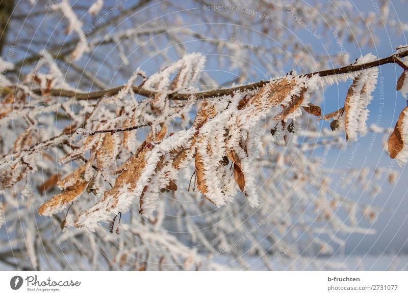 Winterschlaf Natur Eis Frost Schnee Baum Blatt Wald dehydrieren Vergänglichkeit Wandel & Veränderung Eiskristall Schneekristall kalt Farbfoto Außenaufnahme