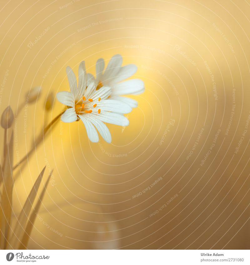 Sternmiere ( Stellaria ) schön Wellness harmonisch Wohlgefühl Zufriedenheit Erholung ruhig Meditation Spa Tapete Muttertag Geburtstag Natur Pflanze Frühling