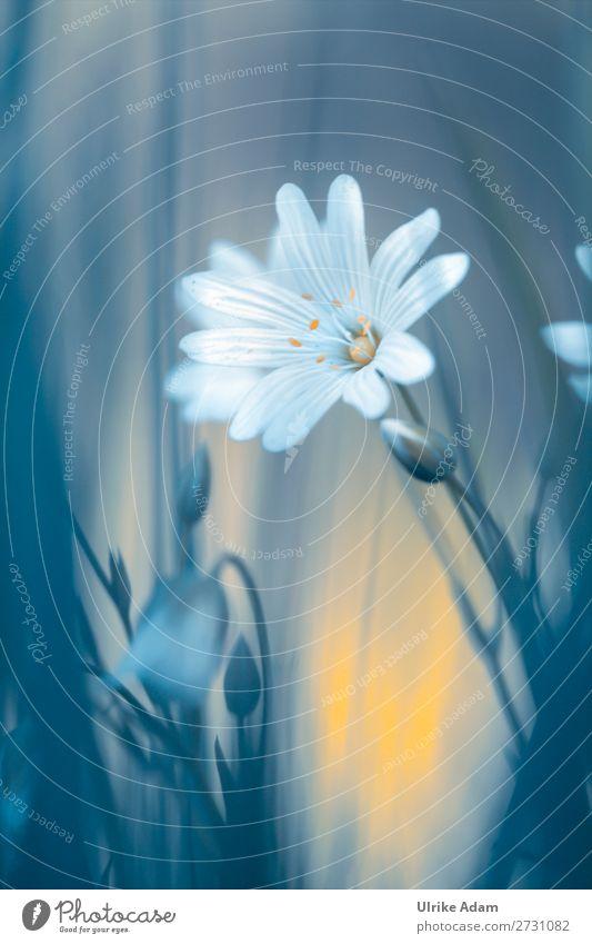 Sternmiere Natur Pflanze Blume Blüte Frühling außergewöhnlich Design Dekoration & Verzierung leuchten Geburtstag Romantik Blühend Hoffnung weich Trauer Wellness