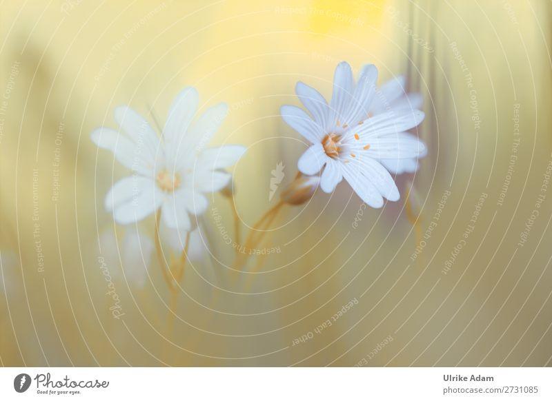 Sternmiere (Stellaria) Natur Pflanze grün weiß Blume Erholung ruhig Blüte Frühling Wiese Feste & Feiern Zufriedenheit Dekoration & Verzierung Feld elegant