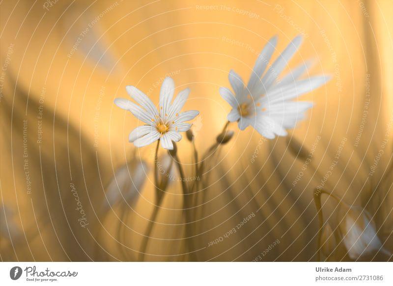 Sternmiere (Stellaria) Design Wellness Spa Dekoration & Verzierung Tapete Feste & Feiern Muttertag Geburtstag Natur Pflanze Frühling Blume Blüte Blühend schön