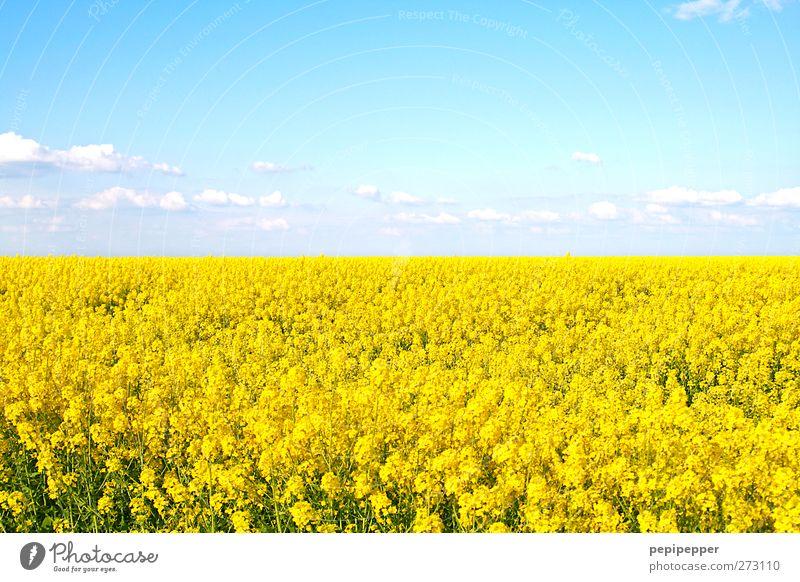 gelbes meer Getreide Ferne Sommer Umwelt Natur Landschaft Pflanze Himmel Wolken Schönes Wetter Blüte Nutzpflanze Feld Blühend Duft Rapsfeld mehrfarbig