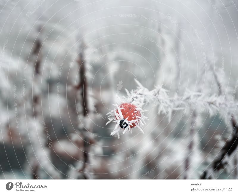 Stachelbeere Umwelt Natur Pflanze Eis Frost Schnee Sträucher Hagebutten Hundsrose Eiskristall Raureif frisch kalt Spitze stachelig rot weiß geduldig Hoffnung