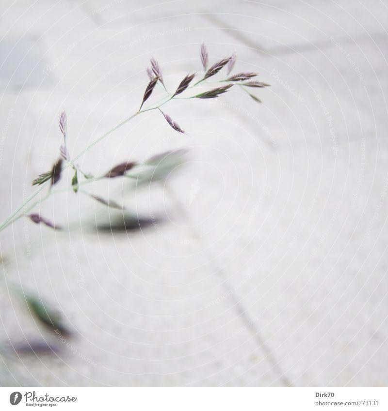 Wie ein Grashalm im Wind ... grün Pflanze Einsamkeit Blatt schwarz Wiese Frühling Bewegung Wege & Pfade grau Garten Wachstum ästhetisch einfach violett