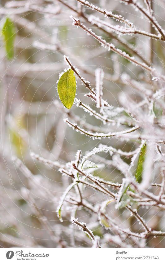 alles friert Natur Pflanze Winter Wetter Eis Frost Schnee Sträucher Blatt Wildpflanze Zweig Zweige u. Äste Hecke Garten Park frieren kalt natürlich schön grün