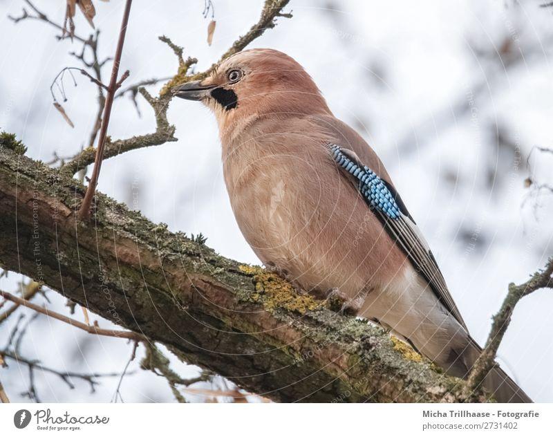 Eichelhäher im Baum Natur Tier Himmel Sonnenlicht Schönes Wetter Zweige u. Äste Wildtier Vogel Tiergesicht Flügel Krallen Schnabel Feder Auge 1 beobachten Blick