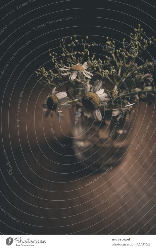 Kamille im Glas Blume Blüte Wildpflanze Holz Vergänglichkeit Unkraut Heilpflanzen Farbfoto Gedeckte Farben Innenaufnahme Nahaufnahme Textfreiraum unten Low Key