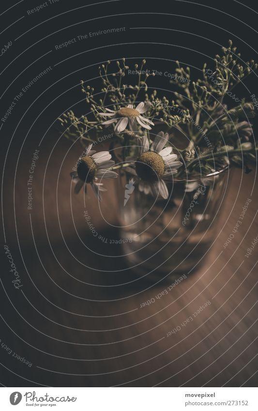 Kamille im Glas Blume Holz Blüte Glas Vergänglichkeit Unkraut Wildpflanze Heilpflanzen