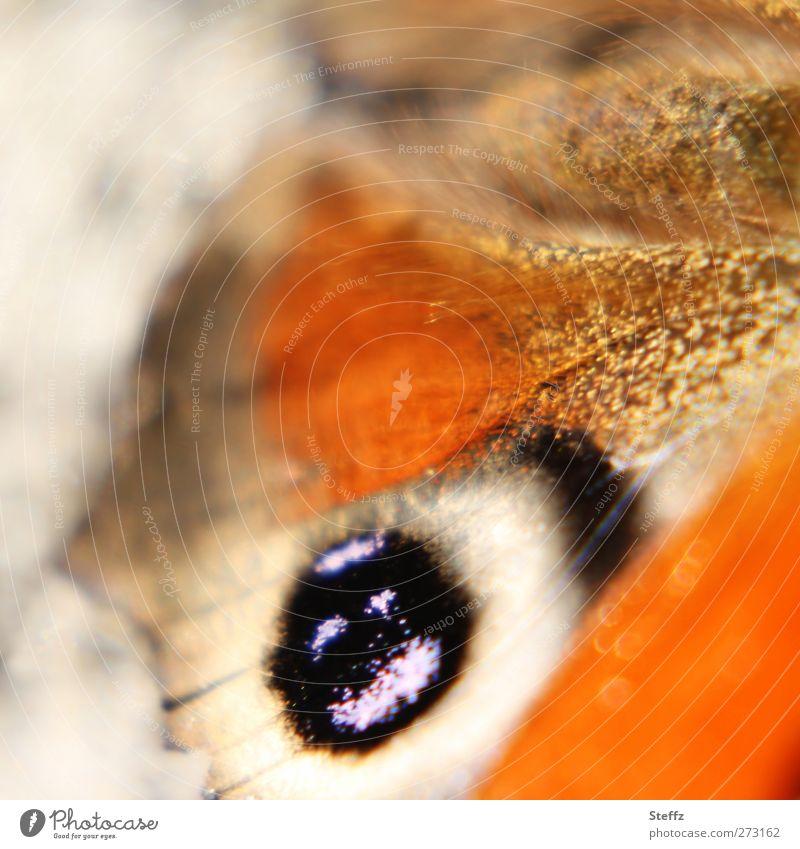 Auge Natur Sommer Herbst Tier Schmetterling Flügel Tagpfauenauge Augenfalter Edelfalter Augenflecken nah schön braun orange einzigartig Farbe Leben Leichtigkeit